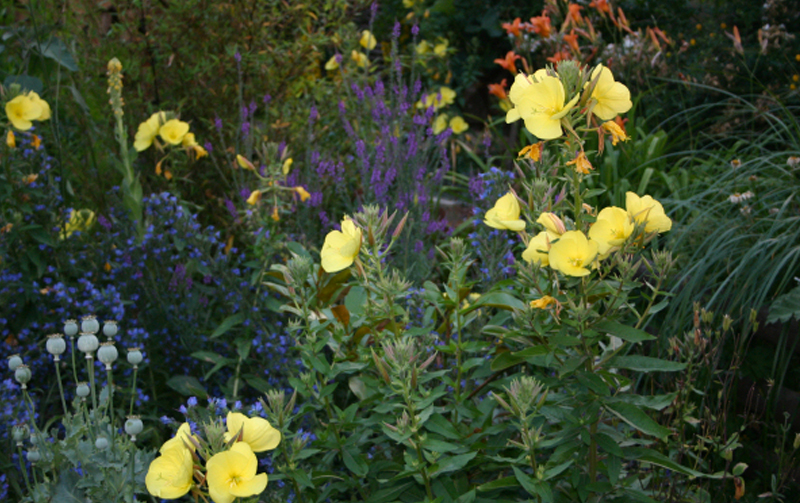 Evening Primrose and Vipers Bulgoss