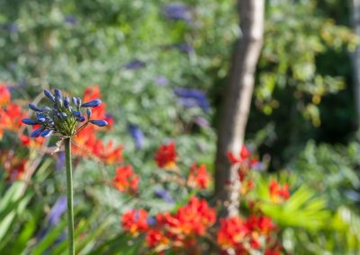 Crocosmia and Agapanthus