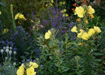 Evening Primrose Border