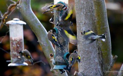Encourage Birds for Winter Colour in Gardens