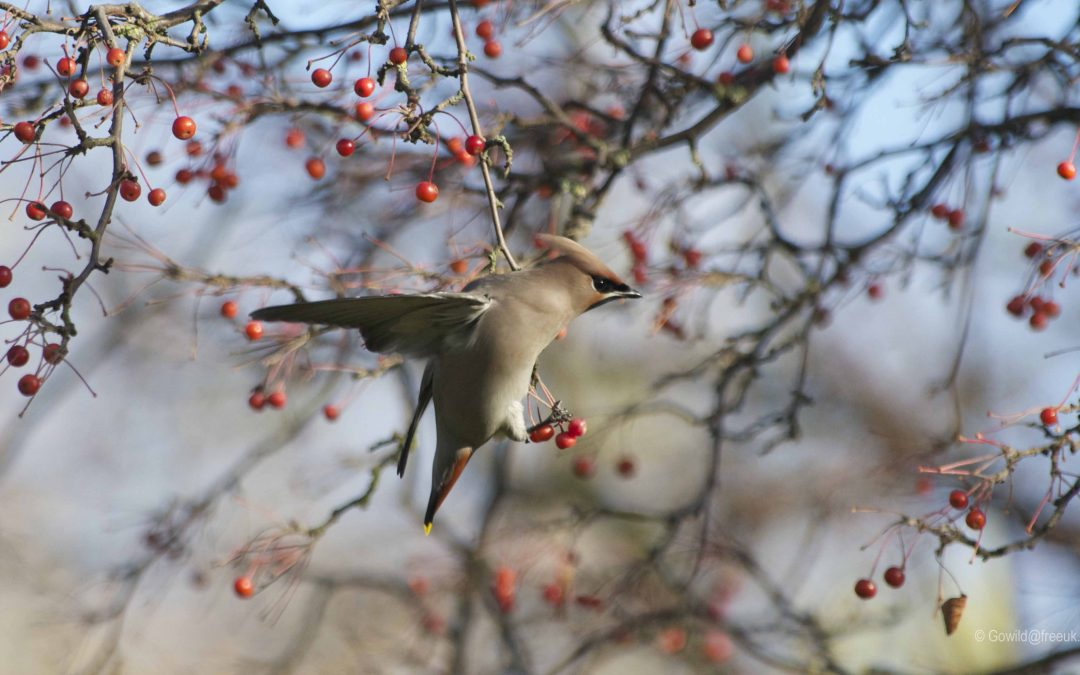 Waxwing and Hawthorn